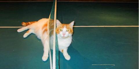 γατούλες Ping Pong